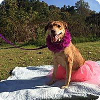 Adopt A Pet :: Sydney - Arlington, VA