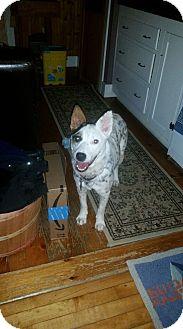 Cattle Dog Mix Dog for adoption in Shelburne Falls, Massachusetts - Pebbles in New England