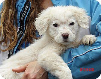Samoyed/Retriever (Unknown Type) Mix Puppy for adoption in Burlington, Vermont - Uma (9 lb) Video!