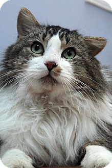 Maine Coon Cat for adoption in St. Louis, Missouri - Stanley