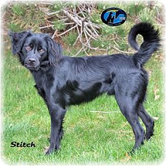 Labrador Retriever/Cocker Spaniel Mix Dog for adoption in Howell, Michigan - Stitch