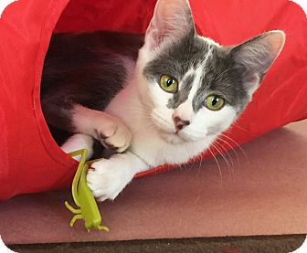Domestic Shorthair Cat for adoption in Chicago, Illinois - Cara