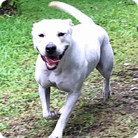 American Bulldog Mix Dog for adoption in Hialeah, Florida - Dubai
