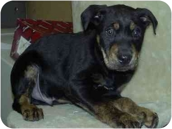 Rottweiler Mix Puppy for adoption in Fulton, Missouri - ROCKY
