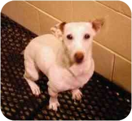 Jack Russell Terrier/Parson Russell Terrier Mix Dog for adoption in Cincinnati, Ohio - Sadie JRT