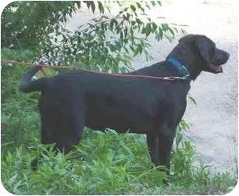 Labrador Retriever Mix Dog for adoption in Coal City, West Virginia - Hope Dayle