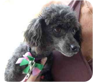 Toy Poodle Dog for adoption in Melbourne, Florida - JILLY-BOO
