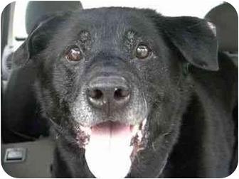 Labrador Retriever Mix Dog for adoption in San Diego, California - MURRAY
