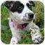 Photo 2 - Labrador Retriever/Australian Shepherd Mix Puppy for adoption in Windham, New Hampshire - Pebbles