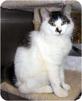 Ragdoll Cat for adoption in New Port Richey, Florida - Gucci