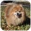 Photo 3 - Pomeranian Mix Dog for adoption in Austin, Texas - Kendal