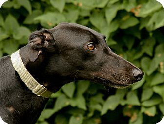 Greyhound Puppy for adoption in Portland, Oregon - Noble