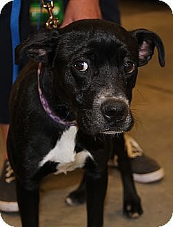 Boxer Mix Dog for adoption in Midlothian, Virginia - Sparky