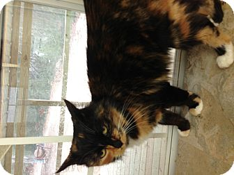 Calico Cat for adoption in Aiken, South Carolina - Peaches