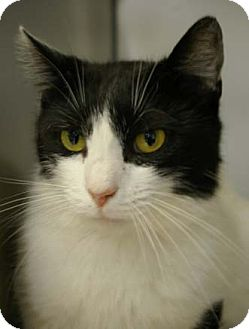 Domestic Shorthair Cat for adoption in Merrifield, Virginia - Charra