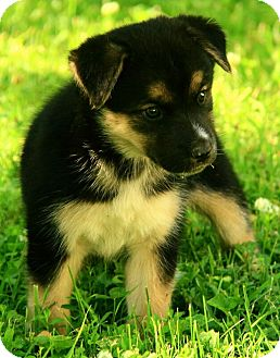 Husky/Alaskan Malamute Mix Puppy for adoption in Hagerstown, Maryland - Bianca