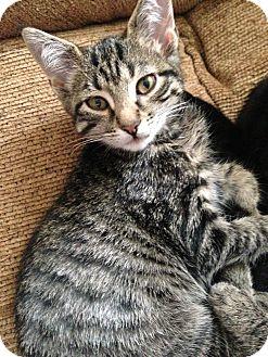 Domestic Shorthair Kitten for adoption in Hendersonville, Tennessee - Lexie