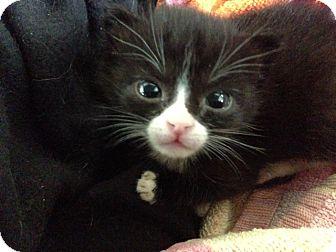 Domestic Shorthair Kitten for adoption in Huntsville, Alabama - Velvet