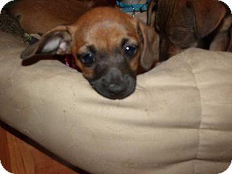 Dachshund Mix Puppy for adoption in Rocky Mount, North Carolina - Maya