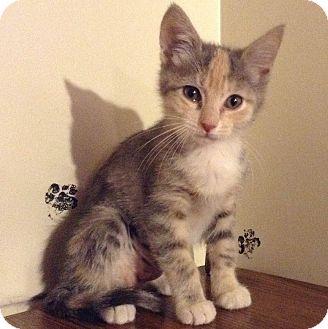 Domestic Shorthair Kitten for adoption in Brimfield, Massachusetts - Olive