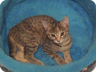 Domestic Shorthair Kitten for adoption in Bentonville, Arkansas - Shelby