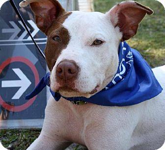 Terrier (Unknown Type, Medium) Mix Dog for adoption in Miami, Florida - Bambi