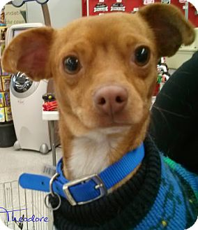Chihuahua Dog for adoption in House Springs, Missouri - Theodore