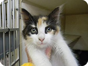 Calico Kitten for adoption in Tyner, North Carolina - Holley