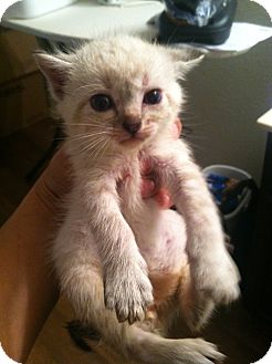 Siamese Kitten for adoption in Mansfield, Texas - Wesley