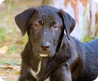 Labrador Retriever Mix Dog for adoption in Cooperstown, New York - Kristoff