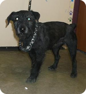 Terrier (Unknown Type, Small) Mix Dog for adoption in Rapid City, South Dakota - Pete