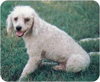 Poodle (Miniature) Dog for adoption in Sheridan, Arkansas - Tito