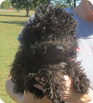 Poodle (Miniature) Puppy for adoption in Greenville, Rhode Island - Sergio