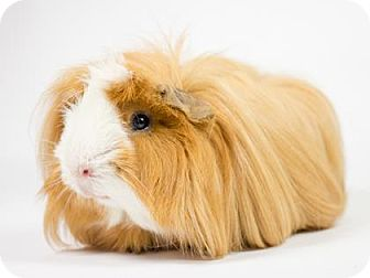 Guinea Pig for adoption in Kingston, Ontario - Peanut