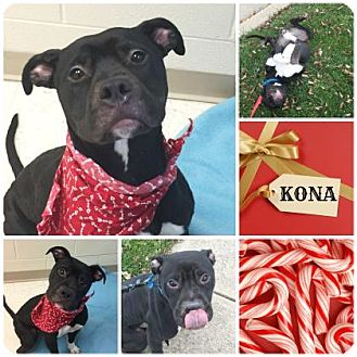 Pit Bull Terrier Mix Dog for adoption in Joliet, Illinois - Kona