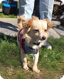 Dachshund/Chihuahua Mix Dog for adoption in Pleasanton, California - Daisy - adoption pending