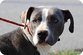 American Bulldog/Great Dane Mix Dog for adoption in Millersville, Maryland - Willow