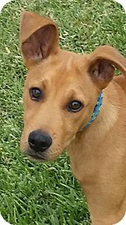 Vizsla/Labrador Retriever Mix Puppy for adoption in San Diego, California - Scooby Dude