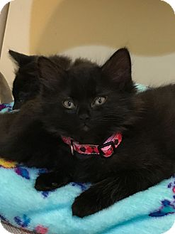 Domestic Longhair Kitten for adoption in Stafford, Virginia - Bibbidi