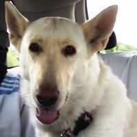 Adopt A Pet :: Gracie - Garland, TX