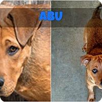 Adopt A Pet :: Abu - Corrales, NM