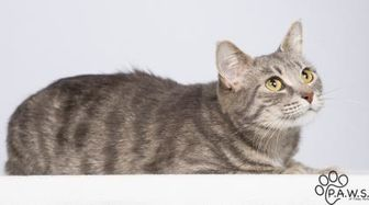 Domestic Shorthair/Domestic Shorthair Mix Cat for adoption in Tinley Park, Illinois - Triss