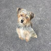 Adopt A Pet :: Suede - Atlanta, GA