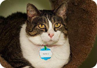 Domestic Shorthair Cat for adoption in Hot Springs, Arkansas - Kellie J.