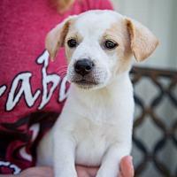 Adopt A Pet :: Si - Boonsboro, MD