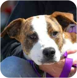 American Pit Bull Terrier Mix Puppy for adoption in Berkeley, California - Mikey