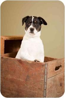 Australian Cattle Dog/Border Collie Mix Puppy for adoption in Portland, Oregon - Odessa
