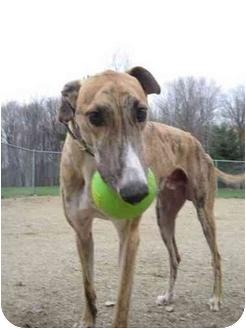 Greyhound Dog for adoption in Chagrin Falls, Ohio - Petro (Petro Mcpistol)