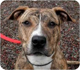 Pit Bull Terrier Mix Puppy for adoption in Phoenix, Oregon - Tiger Lily