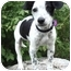 Photo 1 - Jack Russell Terrier/Rat Terrier Mix Puppy for adoption in Provo, Utah - LIZZY